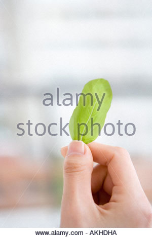 Person holding a basil leaf - Stock Photo