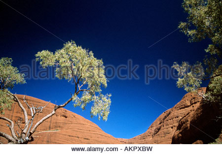 Eucalyptus tree near mount olgas - Stock Photo