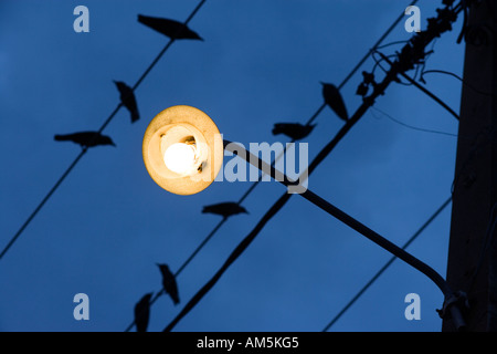 Birds on a wire. Yellow street lamp against a dark blue sky. - Stock Photo