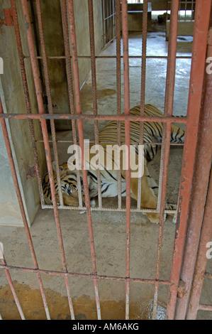Tiger in Tiger Temple Luangta Maha Nua, West Thailand, Thailand - Stock Photo