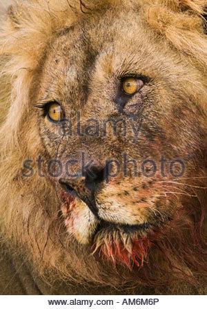 Mountain lion face close up - photo#40