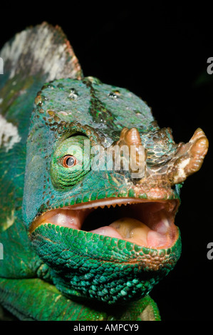 Parson's Chameleon (Calumna parsonii) Wild Andasibe-Mantadia National Park Perinet Reserve, Madagascar August 2006 - Stockfoto