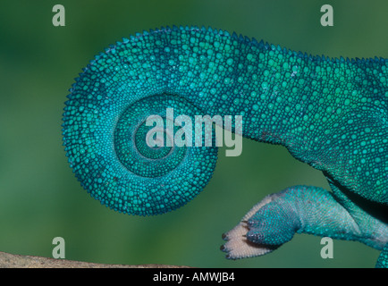 Tail of panther chameleon Furcifer pardalis Madagascar - Stock Photo