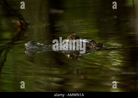 COMMON or SPECTACLED CAIMAN Caiman crocodilus in water - Stock Photo
