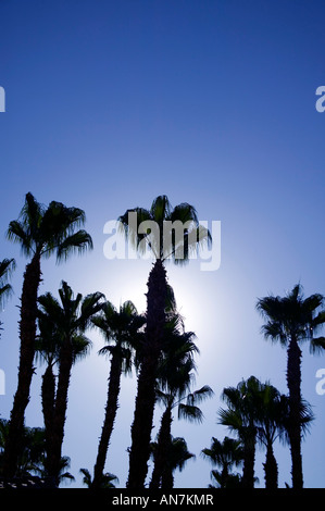 looking up at a group of palm trees with sun backlighting in Palm Springs California USA - Stock Photo