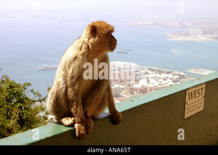 Barbary Macaque on upper rock of Gibraltar Spain - Stock Photo