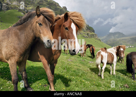 Icelandic Horses in Pasture Iceland - Stock Photo