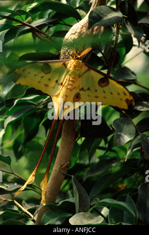 Indian Moon Moth Actias Selene with chrysalis Drying and inflating wings after hatching Habitat India - Stockfoto