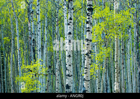 Spring foliage on trembling aspen, Jasper National Park, Alberta, Canada. - Stock Photo
