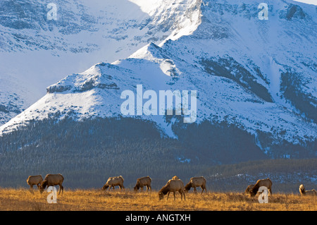 Elk (Cervus elaphus) females grazing on meadow with Sofa Mountain in the background. Waterton Lakes National Park, - Stock Photo