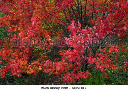 Fall colour in red maple trees Killarney Provincial Park Ontario - Stock Photo