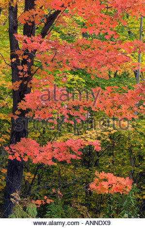 Fall colour in sugar maple trees Killarney Provincial Park Ontario - Stock Photo