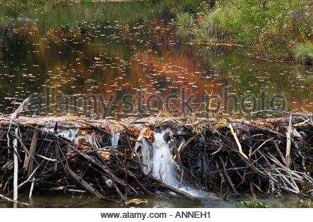 Fall colour with beaver dam and pond Killarney Provincial Park Ontario - Stock Photo