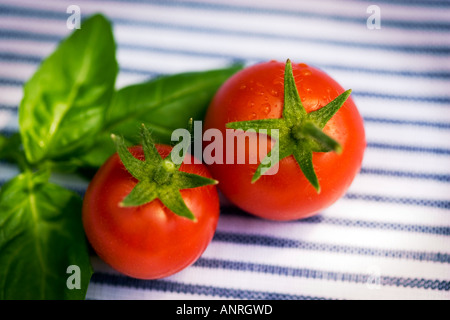 Organic tomatoes with basil leaves  Home grown organicly and just picked Shot  blue and white striped napkin background - Stock Photo