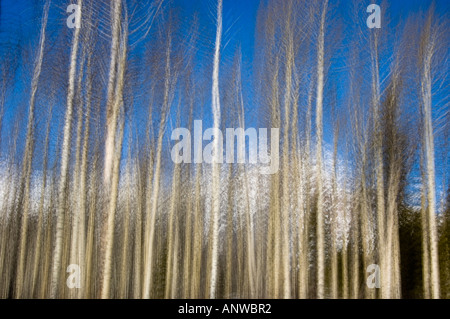 Aspen trees and Pyramid Mountain- camera movement or multiple exposure, Jasper National Park, Alberta, Canada - Stock Photo