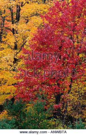 Fall foliage. Maple trees. Parry Sound Ontario, Canada - Stock Photo