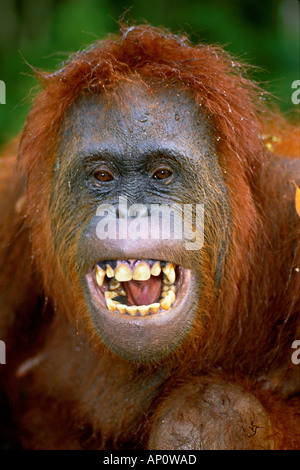 BORNEAN ORANGUTAN Pongo pygmaeus Tanjung Puting National Park Borneo Indonesia - Stock Photo