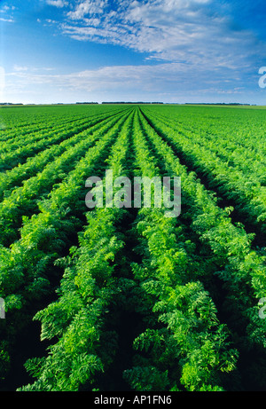 Agriculture - Large field of mature carrots nearly ready for harvest / near Portage La Prairie, Manitoba, Canada. - Stock Photo
