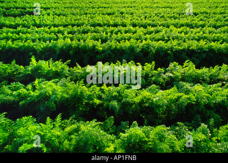 Agriculture - Rows of mature carrots nearly ready for harvest / near Portage La Prairie, Manitoba, Canada. - Stock Photo