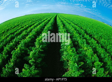 Agriculture - Large field of maturing carrots / near Portage la Prairie, Manitoba, Canada. - Stock Photo