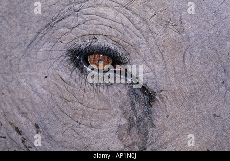 Indian Elephant close up of eye Bandavgarh India - Stock Photo