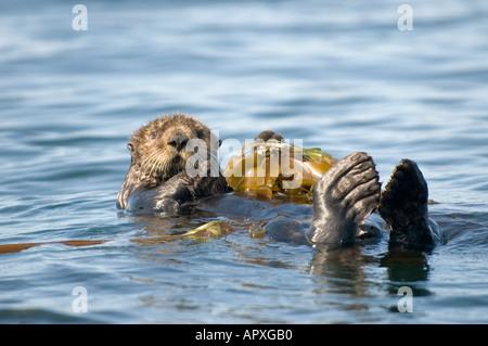 USA Alaska Kachemak bay near Homer Sea Otter resting on kelp bed - Stock Photo