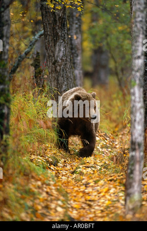Grizzly walking in woods Katmai Natl Park SW AK fall scenic - Stock Photo