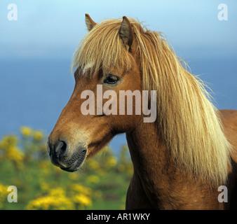 Icelandic horse - portrait - Stock Photo