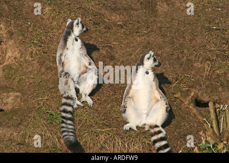 Ring Tailed Lemurs Sunbathing - Stockfoto