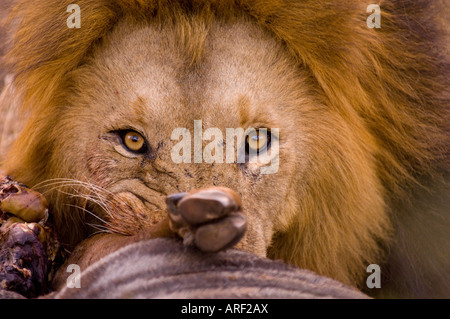 Lion during a lunch blue wildebeest based in the Mala Mala bush mail dominant Kruger National park - Stock Photo