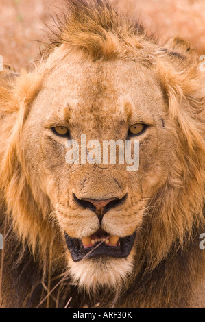 Lion portrait in Sabi Sand area Kruger National park South Africa young mail dominant - Stock Photo