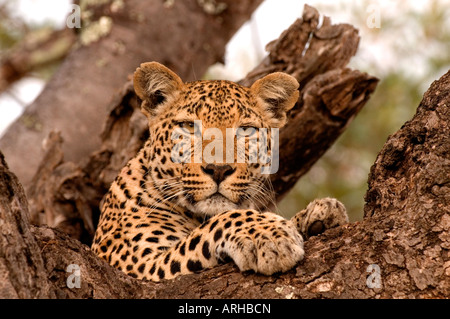Leopard relax on the Red Thorn tree in Sabi Sand area Kruger National park South Africa - Stock Photo