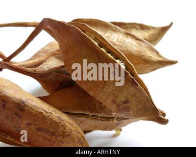 Australian flame tree (Brachychiton acerifolius) - Stock Photo