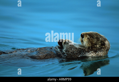 sea otter (Enhydra lutris), swimming on its back, USA, Alaska - Stockfoto