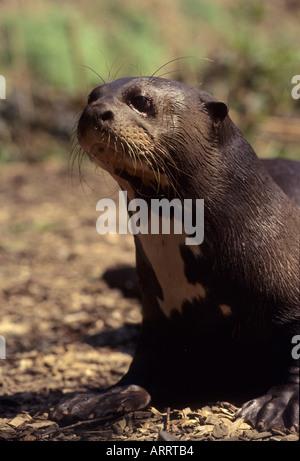 Giant Otter Pteronura brasiliensis tropical South America Captive - Stock Photo