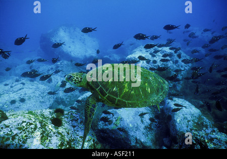 Green sea turtle Chelonia mydas swimming over rocky reef School of Demoiselle fish Raoul Is Kermadec Islands New - Stock Photo