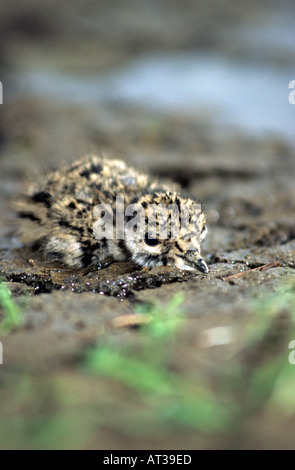 Newly hatched Lapwing chick hiding on the muddy surface. Vanellus vanellus. - Stock Photo