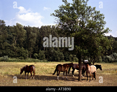 horses on a willow seeking for shadow under a tree - Stock Photo