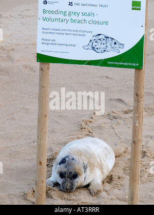 GREY SEAL PUP WITH BEACH CLOSURE INFORMATION SIGN ON BEACH, HORSEY NORFOLK ENGLAND UK - Stock Photo