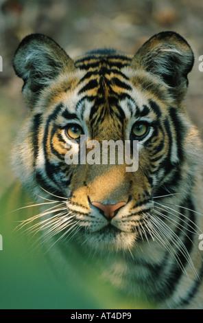 Bengal tiger (Panthera tigris tigris), semiadult, India, Bandhavgarh Np - Stock Photo