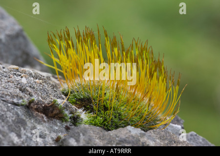 Wall Screw-moss, Tortula muralis, with sporophytes, growing on a limestone wall.  Derbyshire, Peak District National - Stock Photo