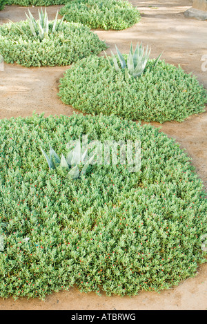 Succulent plants growing in ornamental garden - Stock Photo