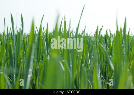 Grass growing, close-up - Stock Photo