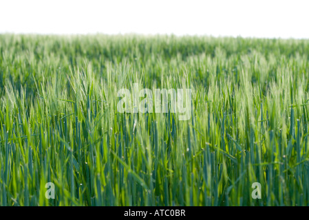 Grass growing in rural field - Stock Photo