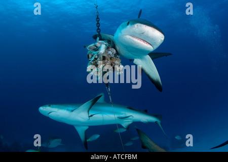 Caribbean reef sharks, feeding, underwater, blue water, ocean, sea, scuba, diving, sharks, predator, danerous - Stock Photo