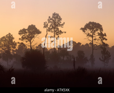 Pine trees in morning fog Big Cypress National Preserve Florida December 1998 - Stock Photo