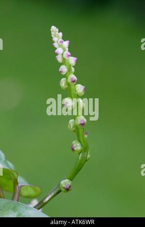 Spinat pflanzen