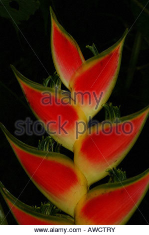 Colorful flowers Heliconia in the Darien province of Republic of Panama - Stock Photo