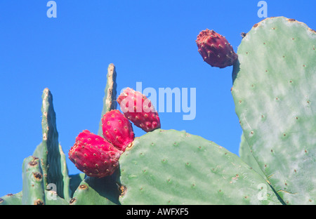 how to grow prickly pear cactus fruit