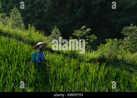 Miao woman, minority people, working in rice paddy, Xijiang, Guizhou, Southern China, China, Asia - Stock Photo